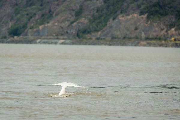 New insight into beluga whale behavior shows decreased seasonal range in Cook Inlet